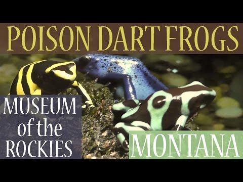 Poison Dart Frogs (Family - Dendrobatidae), Museum of the Rockies, Bozeman, Montana, USA