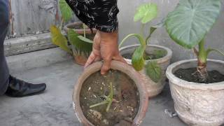 Elephant Ear Plant Care | How To Repotting Elephant Ear Plant (Urdu/Hindi)