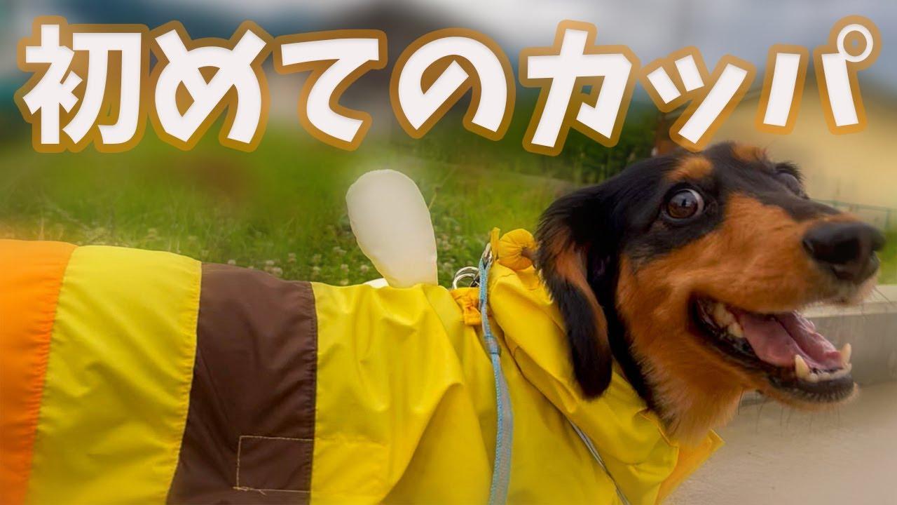 お散歩嫌いな愛犬に雨の日もお散歩に行けるようカッパ買っちゃいました【ダックスフンド】