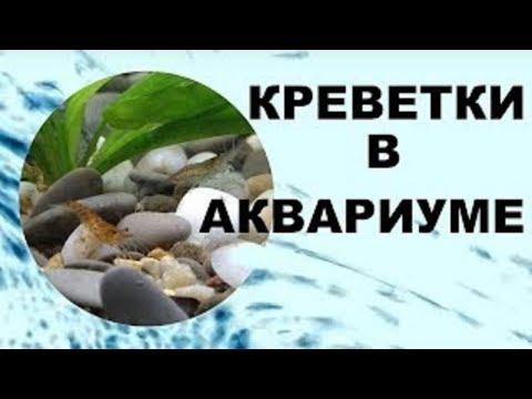 Креветки в аквариуме уход, содержание и размножение