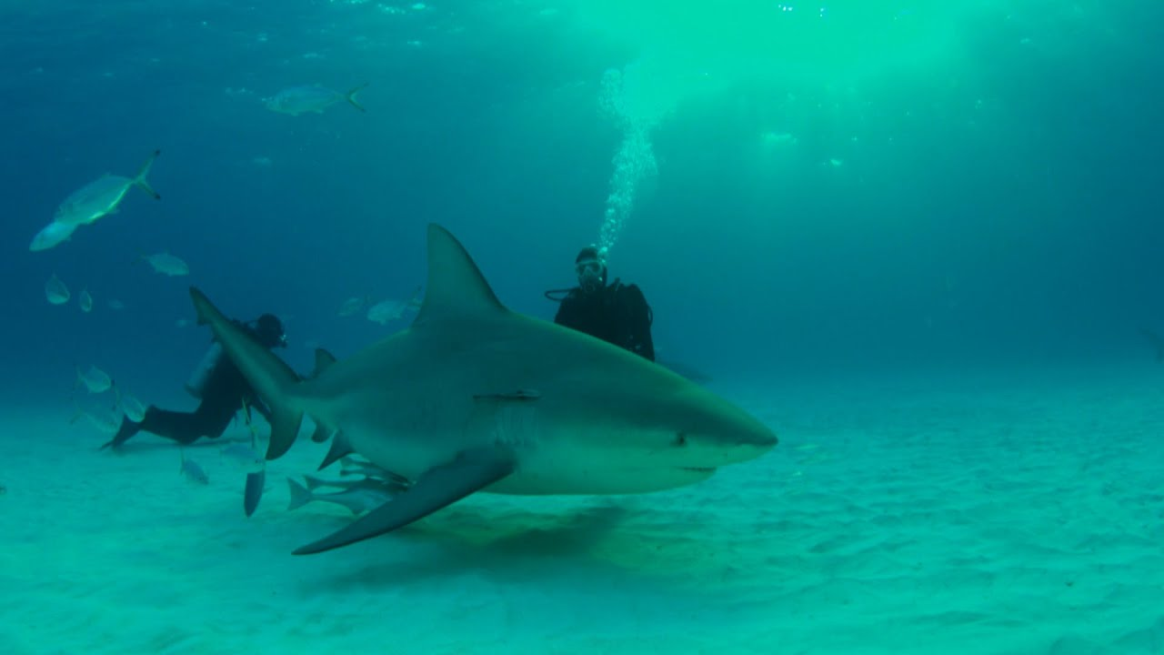 Shark Bull Caught River