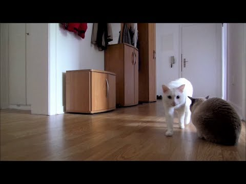 Siamese Cats Home Alone (+ Reaction when I leave & come back)