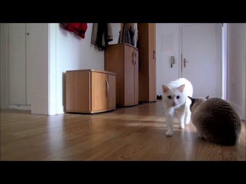 Siamese Cats Home Alone (+ Reaction when I leave & come back) || Siamkatzen allein Zuhause