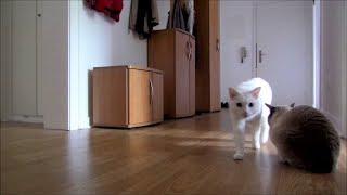 Siamese Cats Home Alone (+ Reaction when I leave & come back)    Siamkatzen allein Zuhause