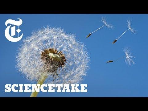 How a Vortex Helps Dandelions Fly   ScienceTake