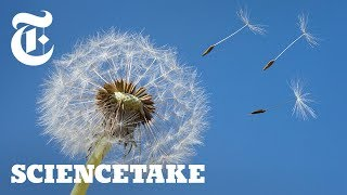 How a Vortex Helps Dandelions Fly | ScienceTake