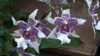 Orchids At Kew Gardens - Amazing Orchid Collection