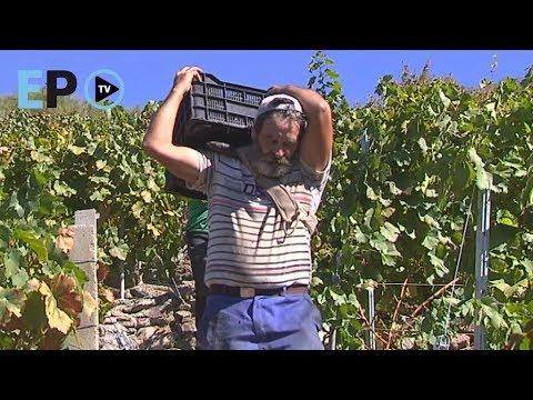 A viticultura heroica da Ribeira Sacra