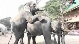 การผสมพันธุ์ของช้าง 1-2