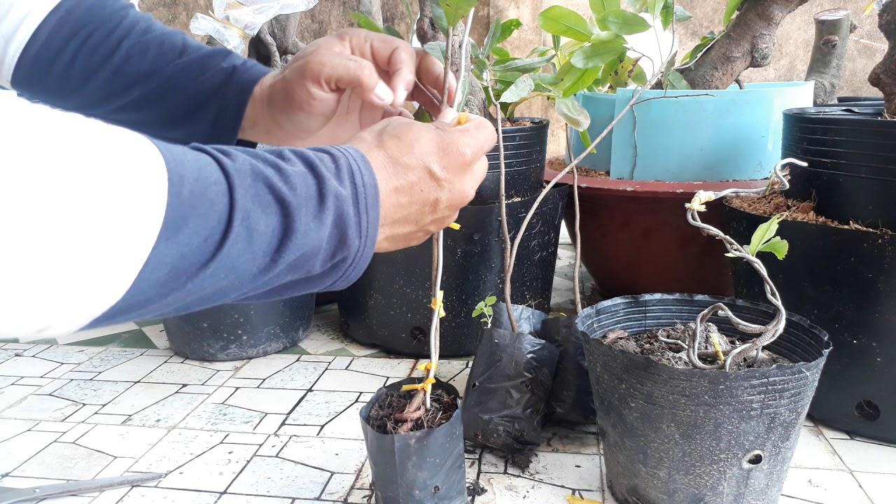 Ý tưởng uốn cây mai con có thân lắc lượn tạo dáng đẹp