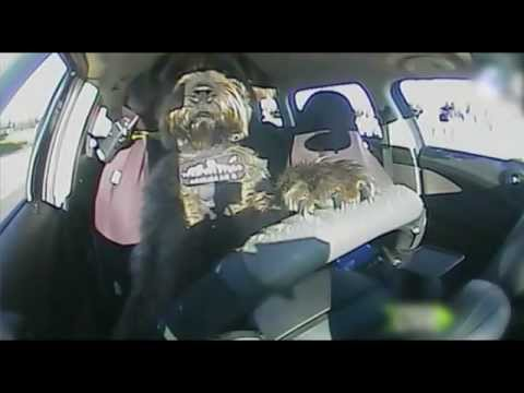 Monty the driving dog's LIVE drive