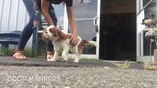 Cavalier King Charles, Hope!  Cavalier King Charles Dog Training | Virginia