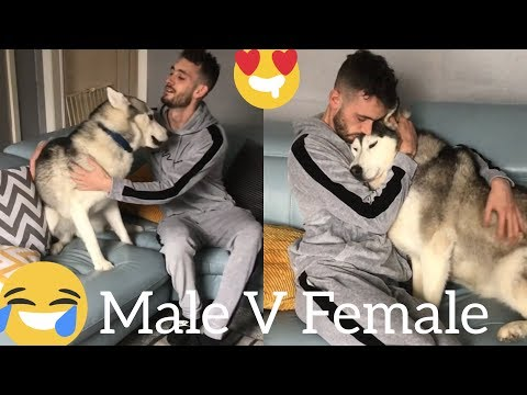 The Funniest Male V Female Husky Differences Clips Ever!! [TRY NOT TO LAUGH]