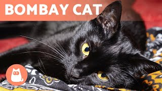 BOMBAY CAT  Characteristics, Care and Health!