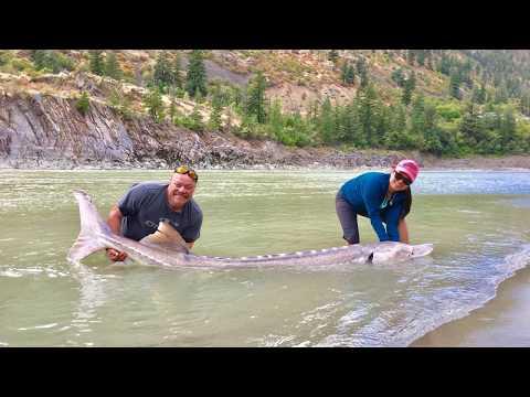 Sturgeon Fishing Fraser River Lillooet BC 2018