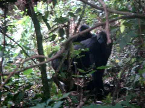 Uganda Gorilla 3 (cute little baby at end)