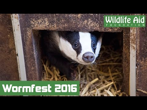 Young badgers try worms for the first time