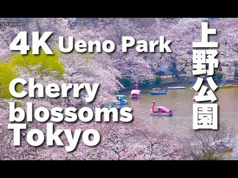 4K  上野公園の桜 Cherry Blossoms in Tokyo - Ueno Park (hanami) Sakura 東京の桜 上野観光 花見 夜桜 桜の名所 日本の桜  樱花 東京観光