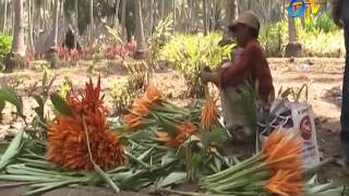 Heliconia – Ornamental flower cultivation tips