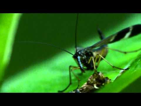 Japanese Scorpionfly Feasting ヤマトシリアゲ♀の食事