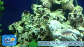 Farmed Barnacles Make A Perfect Nursery For Fish Try