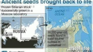 PIANTA DI 30.000 ANNI FA RESUSCITATA DA SCIENZIATI RUSSI, LA SILENE STENOPHYLLA