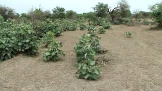 Indigenous Herbal Medicines (Diabetes Complications): Pankaj Oudhia