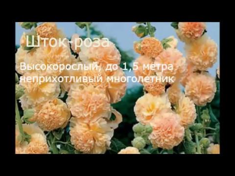 Многолетние садовые цветы, цветущие всё лето  Фото и название