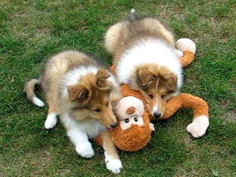 COLLIE Rough puppies, sable males (SAGA + GARY litter)
