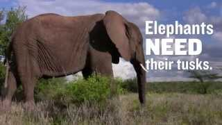 President Obama: Don't Let America Drive Elephants to Extinction