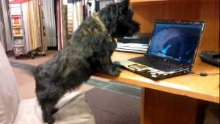 Cairn Terrier Barking