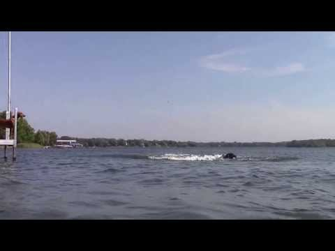 German Wirehaired Pointer jumping off dock