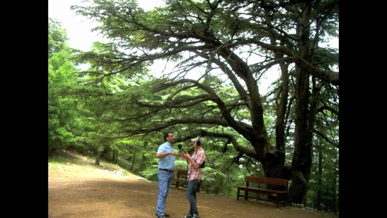 Pictures of cedar trees - The World Cedar Trees In Lebanon
