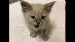 Video LivvieLive the Rescue Kitten - Journey to Forever Home! download MP3, 3GP, MP4, WEBM, AVI, FLV Januari 2018