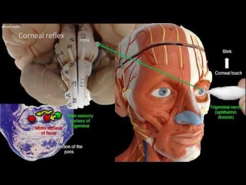 Anatomy of the corneal reflex