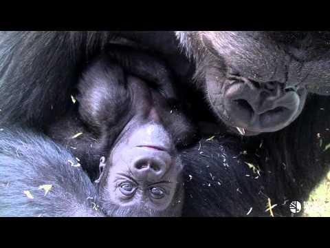 Toronto Zoo Baby Gorilla