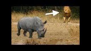 LİON vs RHİNO Real Fight ►► Elephant Hippo Leopard Snake Mongoose Tiger - Giant Anaconda Attacks