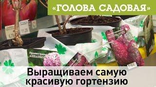 Голова садовая - Выращиваем самую красивую гортензию
