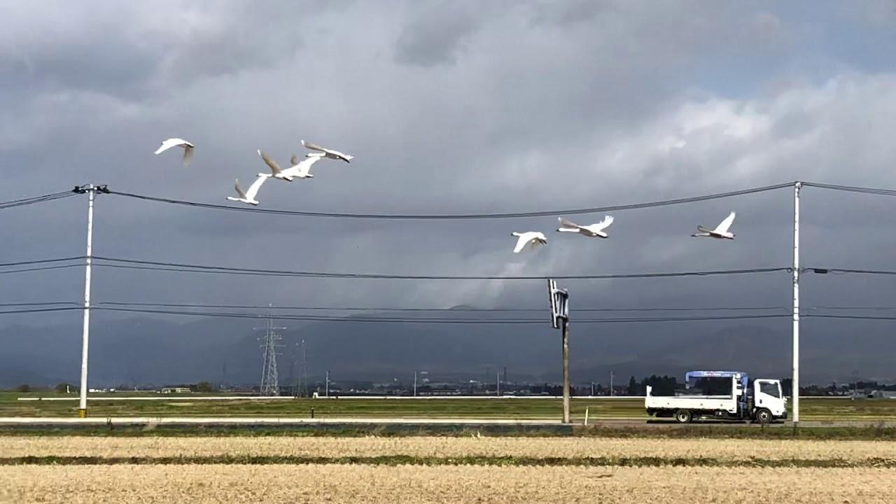 白鳥の飛び立ち1「福島県道の駅 あいづ湯川・会津坂下20191112」