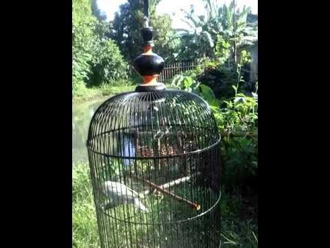 tutorial perawatan lovebird yang over birahi ob 2016 doovi
