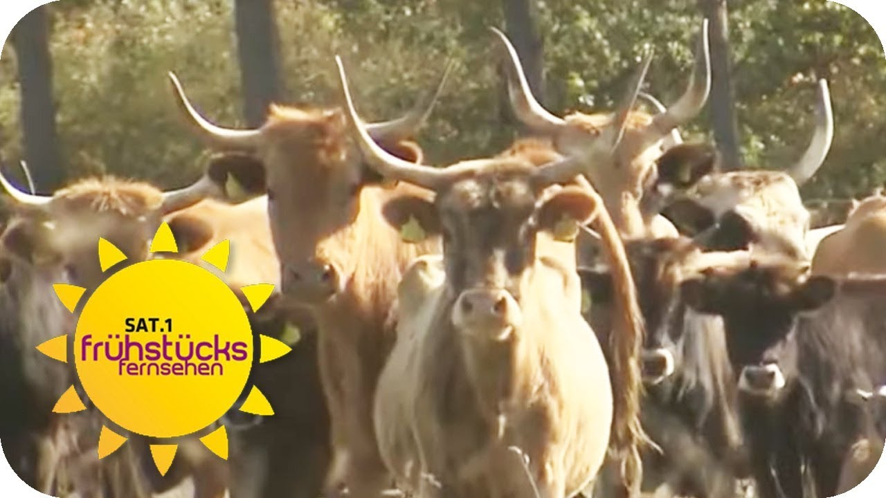Ost Und Westdeutschland Immer Noch Getrennt Für Die Kühe Realität Sat1 Frühstücksfernsehen
