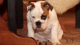 Купить щенка английского бульдога) Matveyevka life: BuldogFIL Maroussia PR BulldogFILL