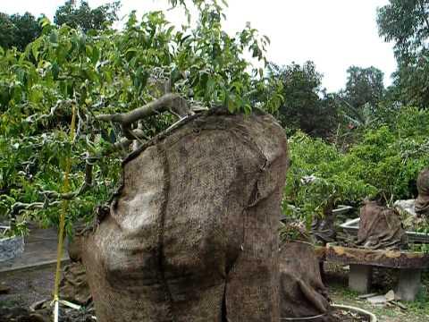 Vườn sanh kiểng Sáu Phùng - Phùng Garden (P2)