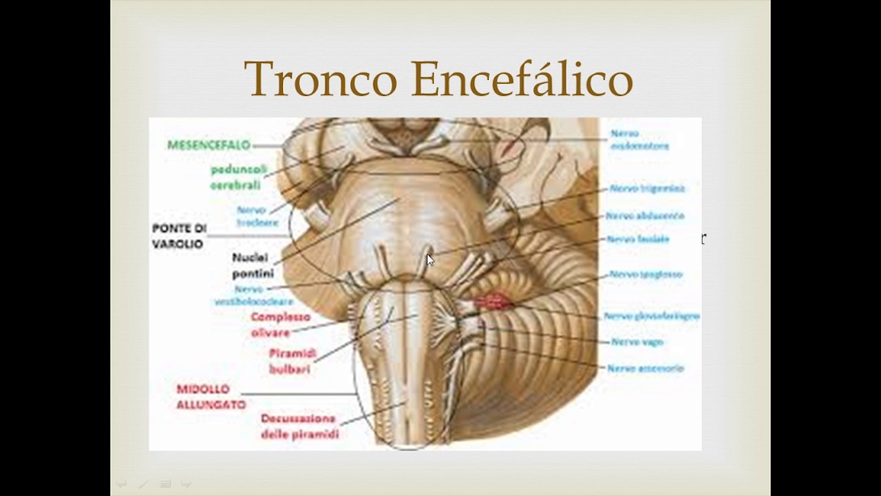 Anatomia Craneo y Medula Espinal - YouTube