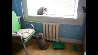 Сats fight // Аnimal fight // Кошка не подпускает к себе кота // Котики дерутся