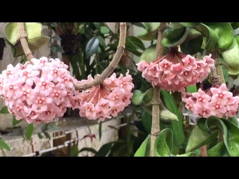 HOYA CARNOSA WITH MANY BLOOMS / CARE TIPS TO BLOOMING HOYA