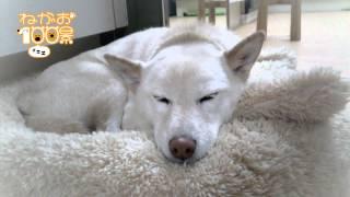 ワンちゃんの寝顔だけをひたすら紹介していく企画! 今回は柴犬のコシロ...