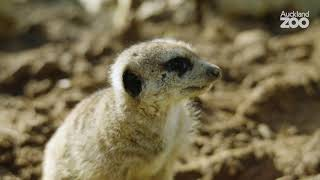 Keeper Chat - Bianca introduces our meerkat mob!