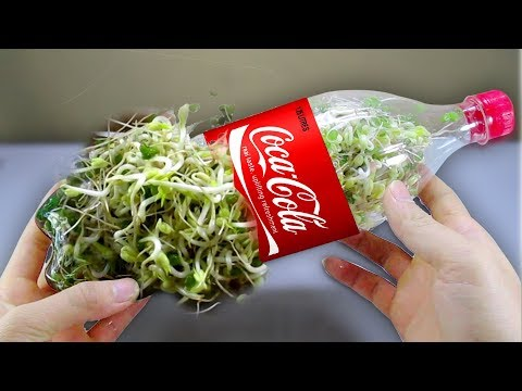 Thumbnail: Using a coca cola bottle to grow bean sprouts at home - Amazing life hack!