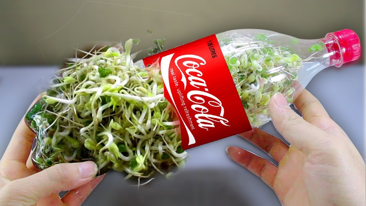 Using A Coca Cola Bottle To Grow Bean Sprouts At Home